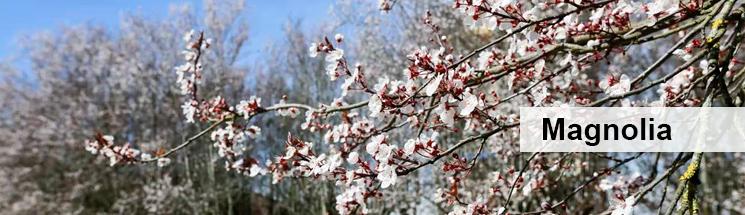 Estelasdaterra-magnolia2